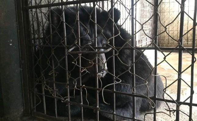 Gấu ngựa được cứu hộ sau hơn một thập kỷ trong lồng sắt - ảnh 4