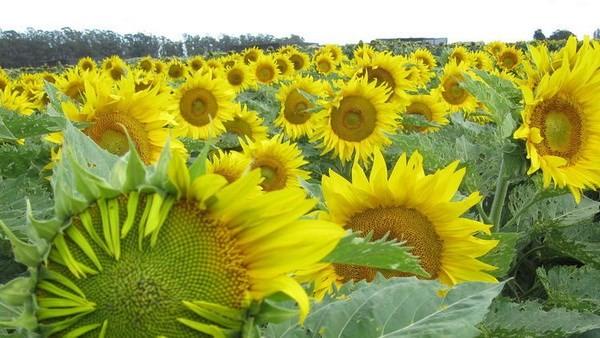Khám phá thêm những bí mật về loài hoa hướng dương - ảnh 1