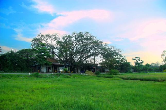 Chuyện kỳ bí về cây đa di sản hơn 200 tuổi nổi tiếng Phú Xuyên - anh 1