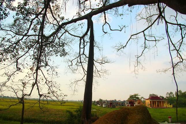 Chuyện kỳ bí về cây đa di sản hơn 200 tuổi nổi tiếng Phú Xuyên - anh 3