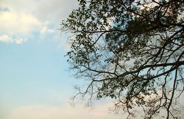 Chuyện kỳ bí về cây đa di sản hơn 200 tuổi nổi tiếng Phú Xuyên - anh 4