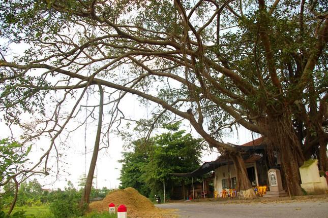 Chuyện kỳ bí về cây đa di sản hơn 200 tuổi nổi tiếng Phú Xuyên - anh 2