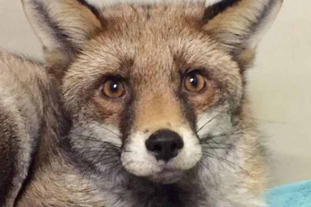Mất ngủ cả tháng vì… cáo hoang sống trên gác xép - ảnh 1