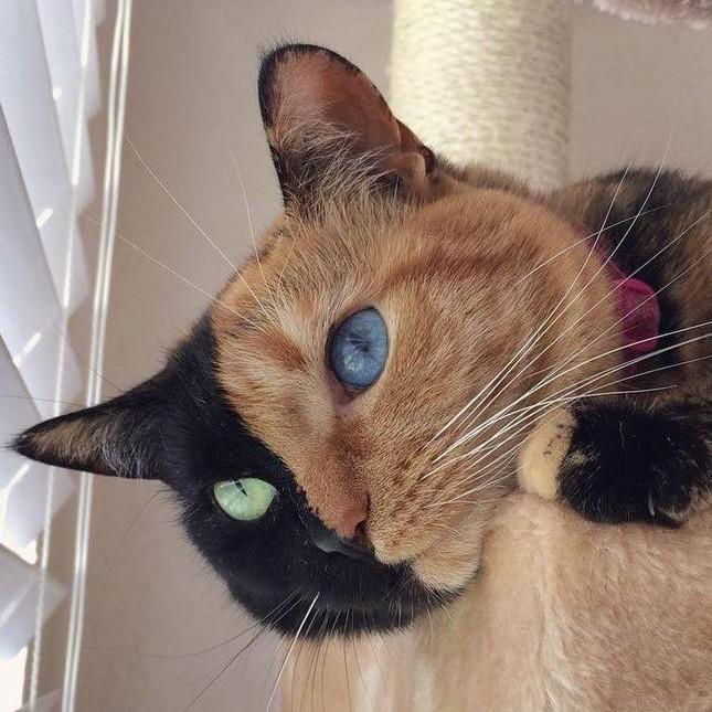 Chú mèo hai mặt độc đáo thu hút hàng triệu fan trên Facebook - ảnh 2