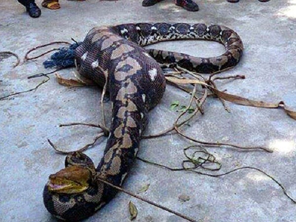 Trăn 'khủng' nặng hơn 80kg ở Quảng Nam đã quấn chết người - ảnh 1
