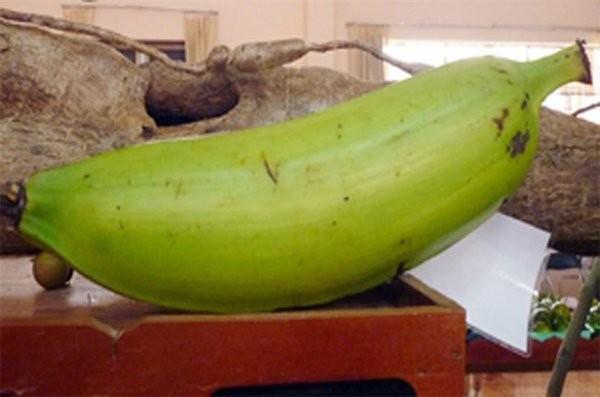 Giống chuối nặng 1kg  giá 20.000/quả ở miền Tây - ảnh 2