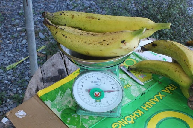 Giống chuối nặng 1kg  giá 20.000/quả ở miền Tây - ảnh 1