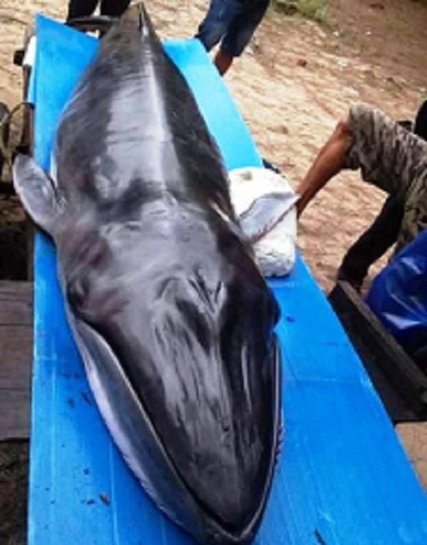 Cá voi 'khủng' 200kg dạt vào bờ biển Quảng Nam - ảnh 1