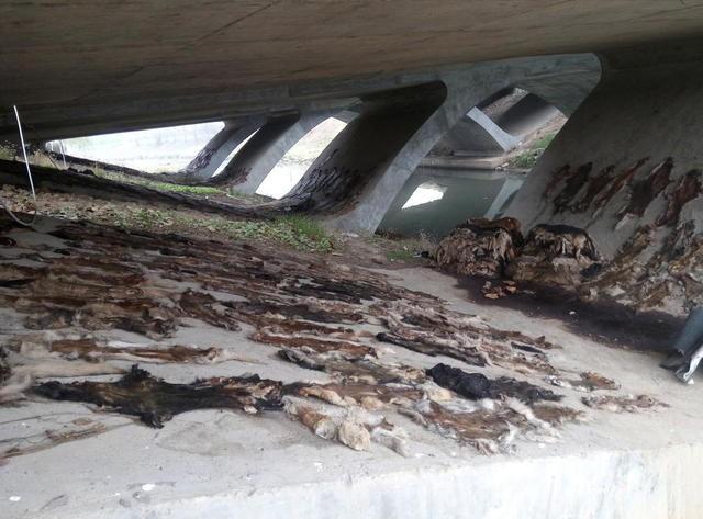 Rợn người phát hiện hơn 600 tấm da chó phơi dưới chân cầu - ảnh 2