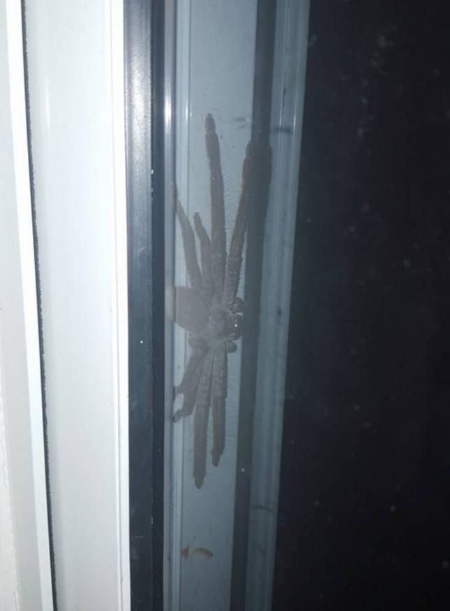 Kinh hãi phát hiện nhện thợ săn khổng lồ nấp ngoài cửa nhà - ảnh 1