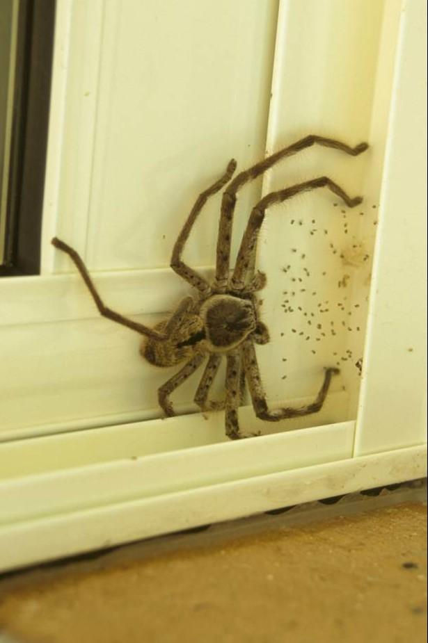 Kinh hãi phát hiện nhện thợ săn khổng lồ nấp ngoài cửa nhà - ảnh 2