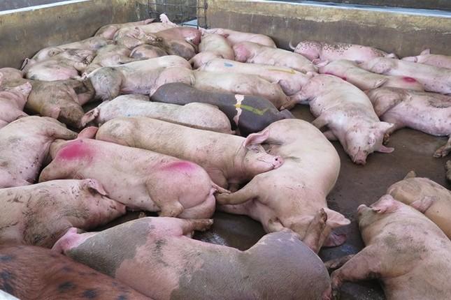 Phát hiện 100 con heo bị lở mồm long móng trong lò giết mổ - ảnh 1