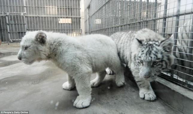 Những hình ảnh đầu tiên về cặp hổ trắng cực hiếm tại Trung Quốc - ảnh 1