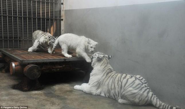 Những hình ảnh đầu tiên về cặp hổ trắng cực hiếm tại Trung Quốc - ảnh 10