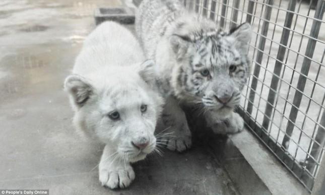 Những hình ảnh đầu tiên về cặp hổ trắng cực hiếm tại Trung Quốc - ảnh 11