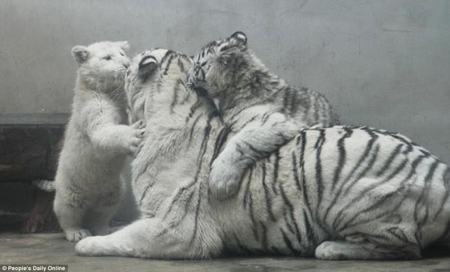Những hình ảnh đầu tiên về cặp hổ trắng cực hiếm tại Trung Quốc - ảnh 3