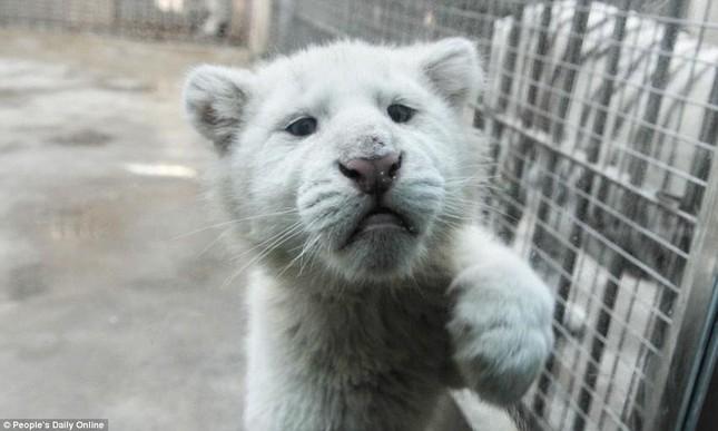 Những hình ảnh đầu tiên về cặp hổ trắng cực hiếm tại Trung Quốc - ảnh 4