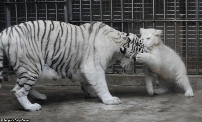 Những hình ảnh đầu tiên về cặp hổ trắng cực hiếm tại Trung Quốc - ảnh 5