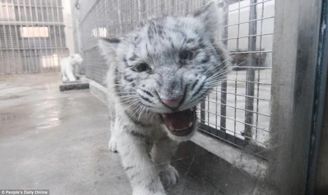 Những hình ảnh đầu tiên về cặp hổ trắng cực hiếm tại Trung Quốc - ảnh 8