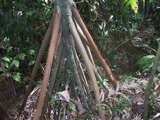 Bí ẩn loài cây có thể di chuyển 20 m mỗi năm ở Ecuador - ảnh 2