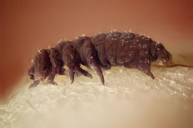 Phát hiện mới hé lộ sự bất tử của bọ gấu nước - ảnh 2