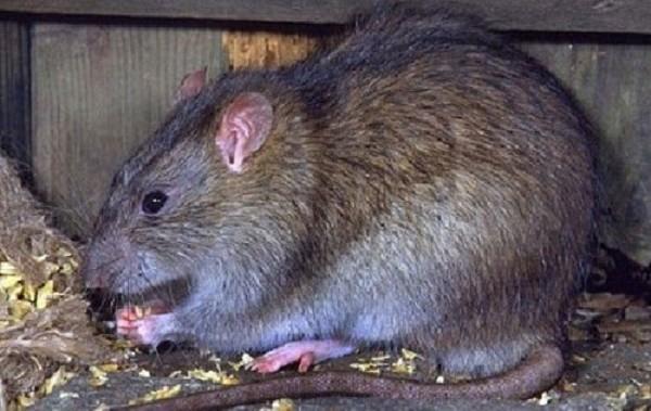 6 mẹo diệt chuột cực hay bạn nên thử - ảnh 1
