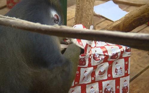 Sở thú Ba Lan tặng quà Giáng sinh cho động vật - ảnh 1