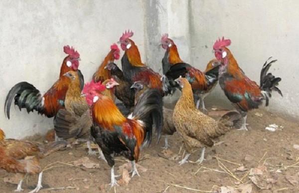 Xôn xao cặp gà rừng cúng tết có giá 10 triệu đồng - ảnh 2