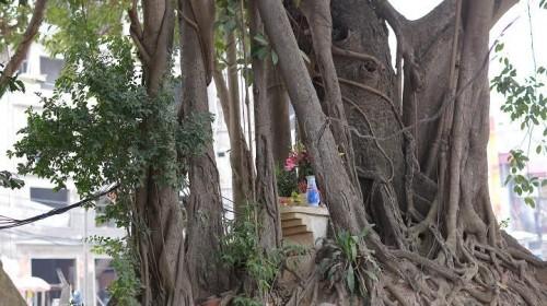 Đường nghìn tỷ 'né' cây đa trăm tuổi: BQL dự án nói gì? - ảnh 4