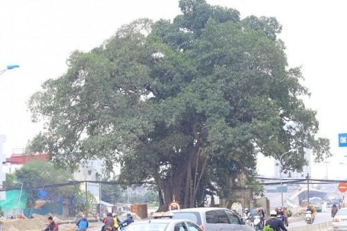 Đường nghìn tỷ 'né' cây đa trăm tuổi: BQL dự án nói gì? - ảnh 2
