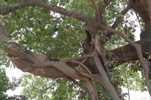 Đường nghìn tỷ 'né' cây đa trăm tuổi: BQL dự án nói gì? - ảnh 3
