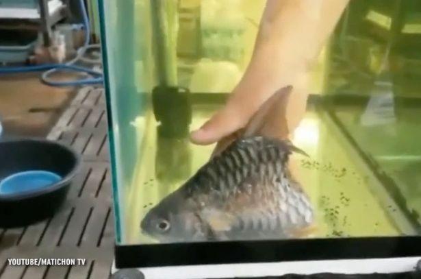 Kỳ lạ con cá bị mất một nửa thân dưới vẫn sống được hơn 6 tháng - ảnh 4