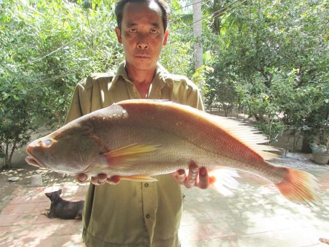 Bắt được cá lạ nghi là cá sủ vàng giá 200 triệu ở Bến Tre - ảnh 1