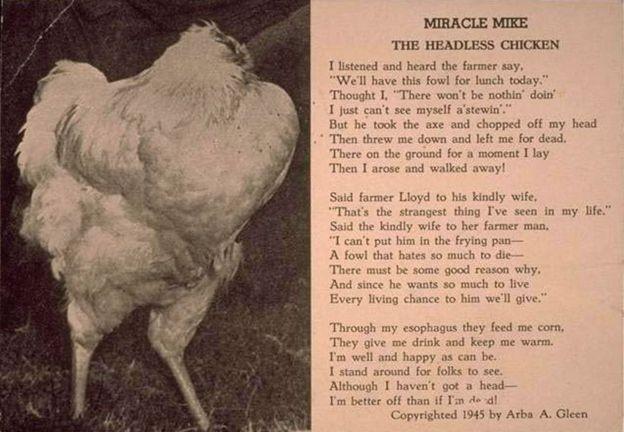 Vì sao chú gà có thể sống 18 tháng mà không có đầu? - ảnh 3