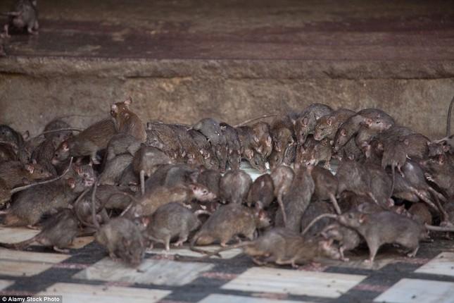 Kỳ lạ ngôi đền nuôi tới 20 nghìn con chuột ở Ấn Độ - ảnh 4