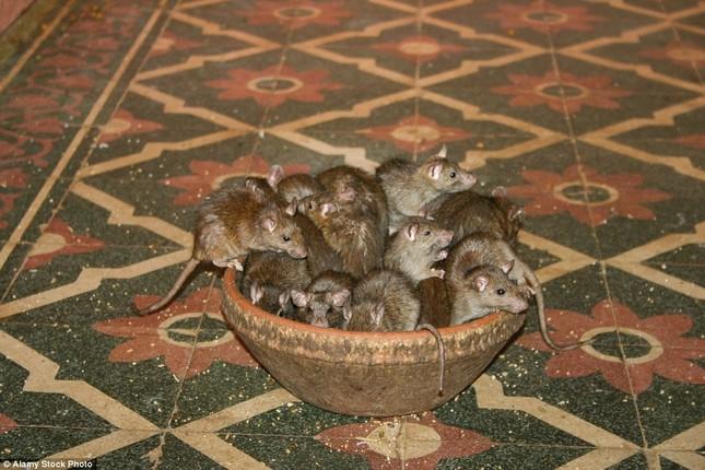 Kỳ lạ ngôi đền nuôi tới 20 nghìn con chuột ở Ấn Độ - ảnh 3