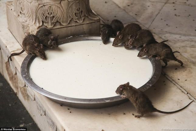 Kỳ lạ ngôi đền nuôi tới 20 nghìn con chuột ở Ấn Độ - ảnh 5
