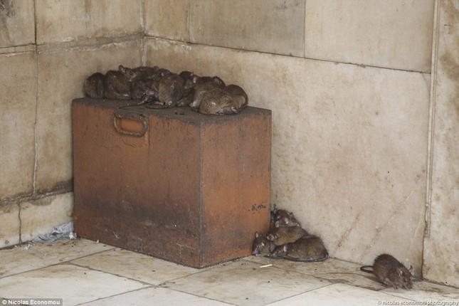 Kỳ lạ ngôi đền nuôi tới 20 nghìn con chuột ở Ấn Độ - ảnh 6