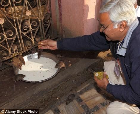 Kỳ lạ ngôi đền nuôi tới 20 nghìn con chuột ở Ấn Độ - ảnh 7