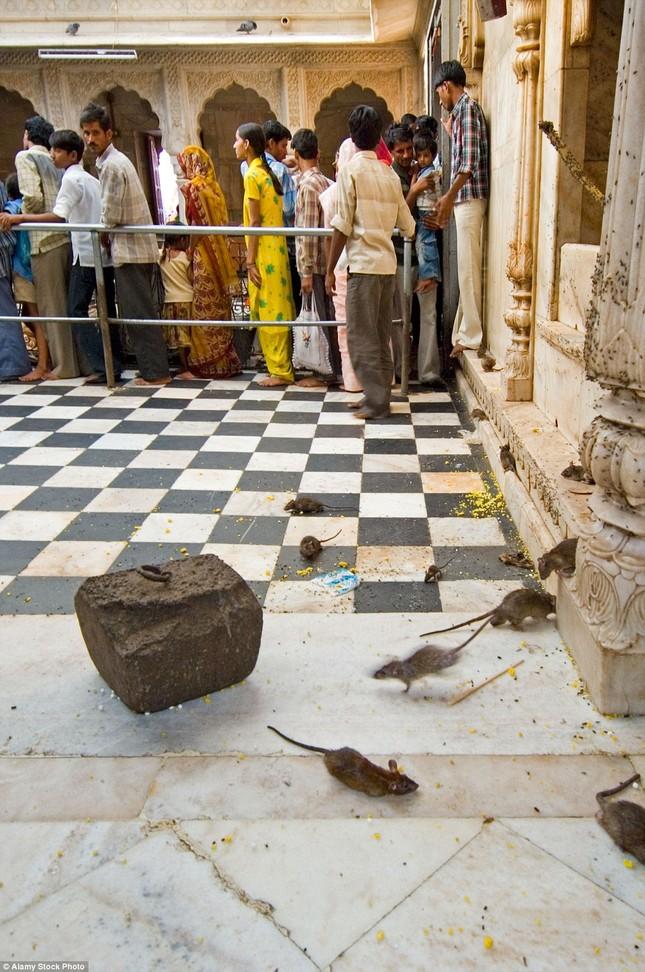 Kỳ lạ ngôi đền nuôi tới 20 nghìn con chuột ở Ấn Độ - ảnh 8