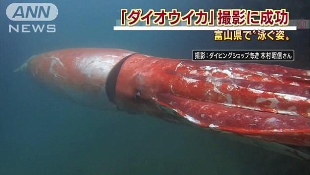 Mực khổng lồ quý hiếm bất ngờ xuất hiện ở cảng biển Nhật Bản - ảnh 1