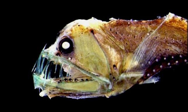 Bắt được cá kì lạ có răng nanh dài như kiếm ngoài khơi Malaysia - ảnh 4