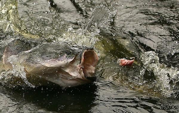 Khám phá 'quái vật nước ngọt lớn nhất hành tinh' ở Amazon - ảnh 3