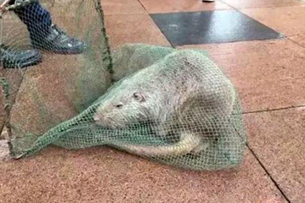 Trường học 'tá hỏa' phát hiện chuột khổng lồ dài 1 mét, nặng 10 kg - ảnh 1