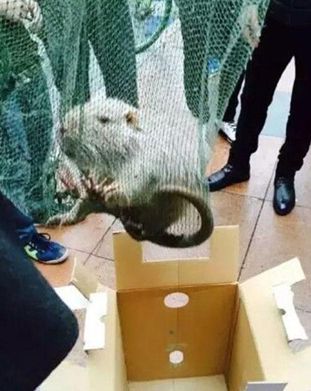 Trường học 'tá hỏa' phát hiện chuột khổng lồ dài 1 mét, nặng 10 kg - ảnh 2