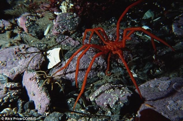 Phát hiện loài nhện biển khổng lồ ở Nam Cực gây chấn động - ảnh 1