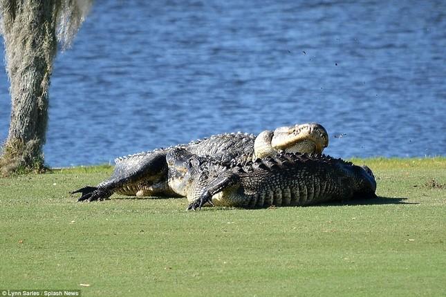 Cá sấu gây sửng sốt khi quyết chiến ngay trên sân golf - ảnh 1