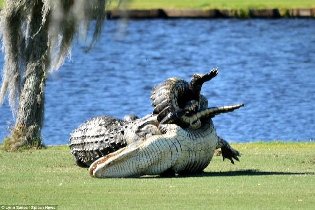 Cá sấu gây sửng sốt khi quyết chiến ngay trên sân golf - ảnh 2