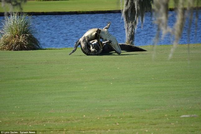 Cá sấu gây sửng sốt khi quyết chiến ngay trên sân golf - ảnh 4