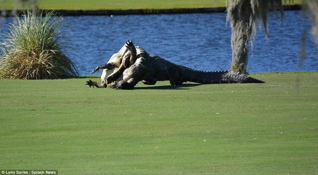 Cá sấu gây sửng sốt khi quyết chiến ngay trên sân golf - ảnh 5